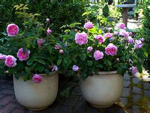 Overwintering Roses
