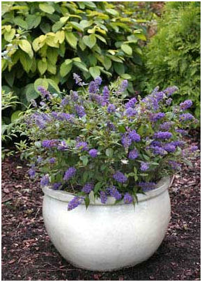 Butterfly bush in container.