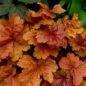 Colorful heucheras or coral bells
