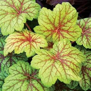 Heucheras grow well in containers.