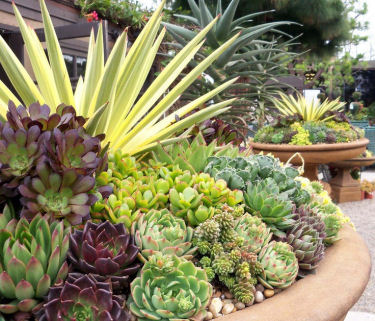 Lovely container garden of succulents.