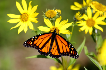 Find Out Which Butterflies Are Native To You Area, And Then See Which Host  Plants Those Butterflies Prefer.