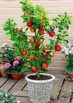 trees in container gardens - Trees For Home Garden