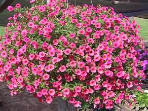 Calibachoa or million bells petunias