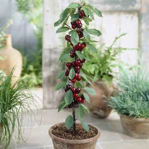 Delicieux Once Youu0027ve Decided On The Tree, Select A Pot That Is The Right Size. Trees  In Container Gardens Should Be Planted In A Pot Or Box That Is Twice The  Width ...