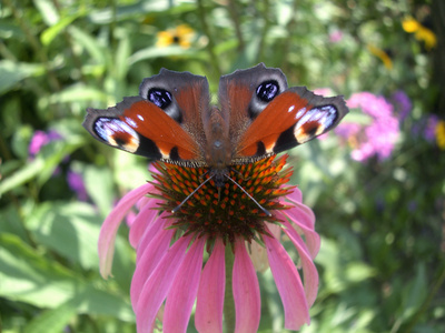 Plant Trailing Verbena Or Petunias Around The Base Of Its Container Or  Group It With Pots Of Those Types Of Plants To Attract Many Different  Butterflies.