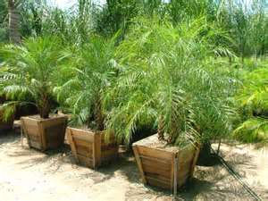 Trees In Containers