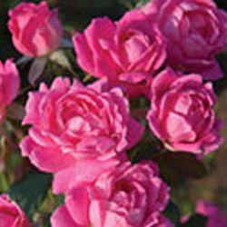 Easy to grow knock-out roses