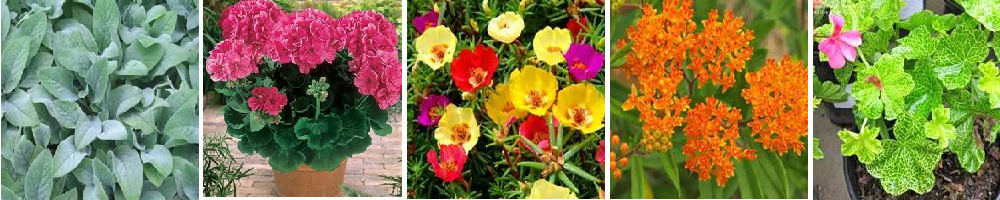 Colorful drought resistant plants for container gardens.