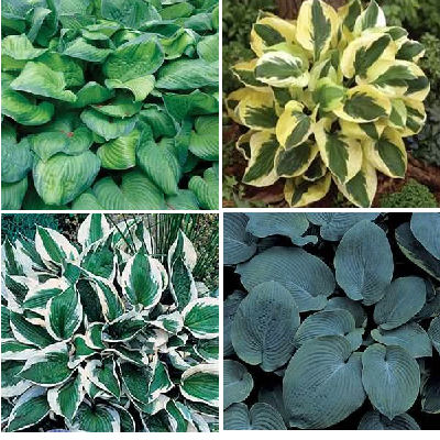 Foliage plants for containers.