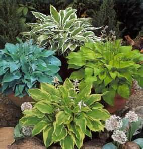 Variations of hostas in containers.