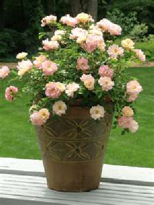 Rose gardening in containers.