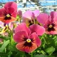 Pansies are edible and add color to your dishes.
