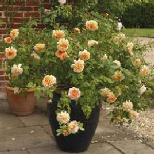 Enjoy Container Gardening & Using Shrubs in Container Gardens - Enjoy Container Gardening