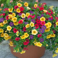 Look Great In A Tall Curvy Urn While Mounding Annuals Like The Petunias Best Rounded Container That Is About 2 3 Height Of Flowers
