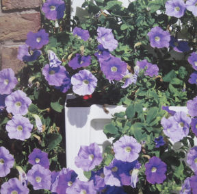 Petunias are popular in container gardens.