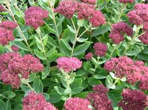 Sedum is a great drought resistant perennial for container gardens.