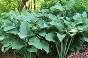 Growing Hostas Brin Container Gardens Enjoy Container Gardening